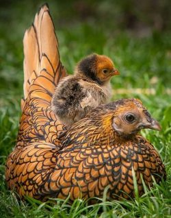 Love the colors on this Golden Sebright chick. This and the Golden Laced Wyandotte hens are just so pretty! <3