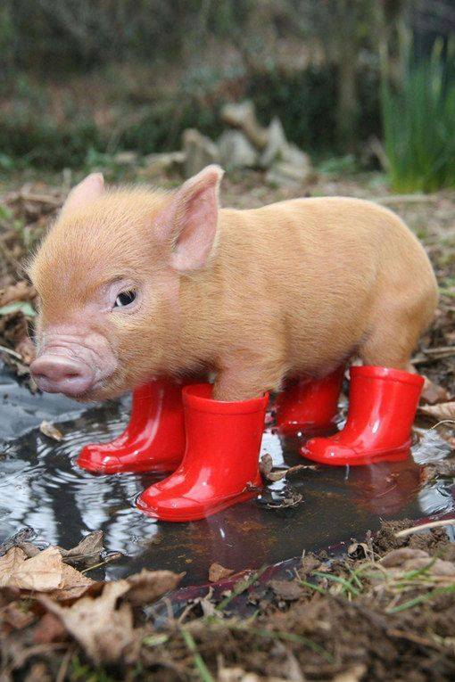Piglet in little red boots.