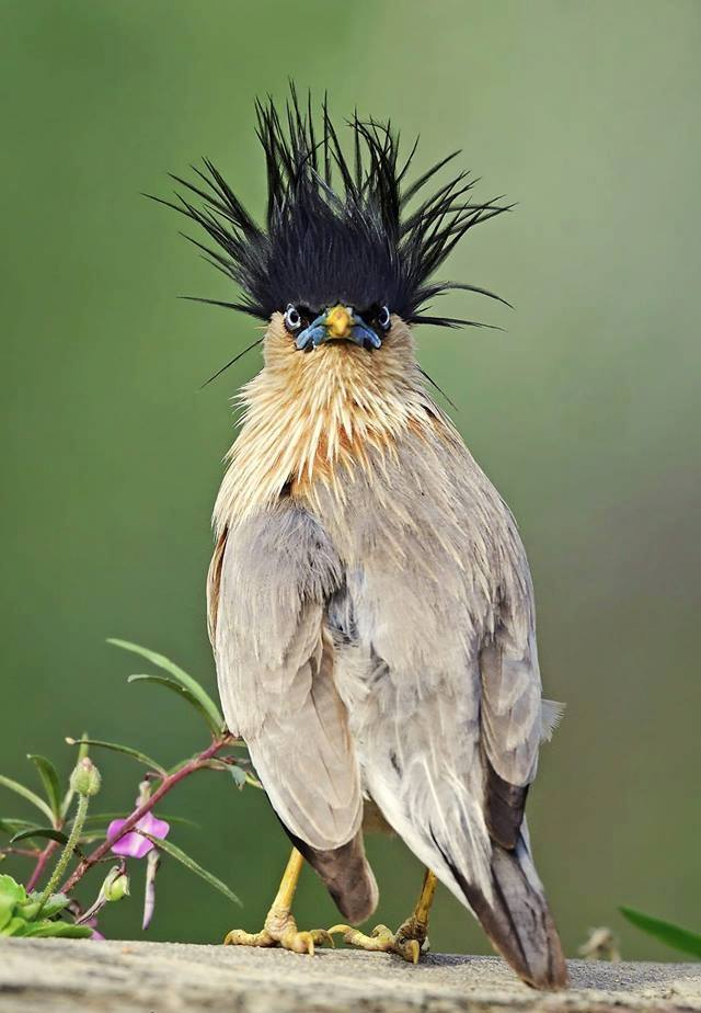 Please say something about this Brahminy Starling!