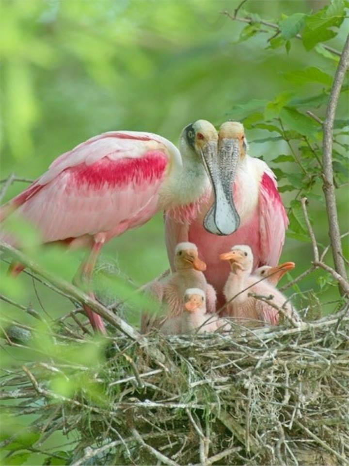 Roseate Spoonbill family in Louisiana, USA