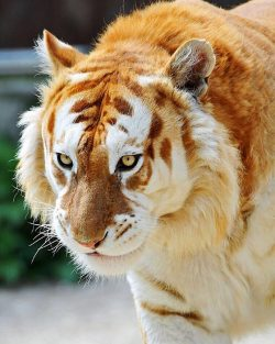 The Rare, Majestic Golden Tiger, They Are Less Than 30 On Earth. <3