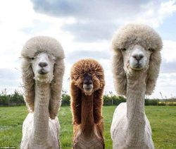 These Alpacas could rock an album cover.  <3