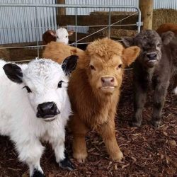 They're miniature cows.