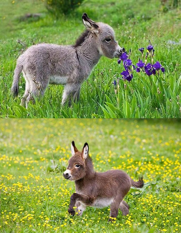 They're no bigger than a toddler. dwarf donkey <3