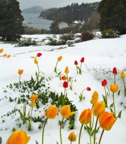 Tulips in the snow.. One word for this picture please? :)
