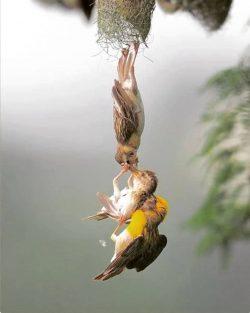 Two weaver birds rescuing chick fallen from nest. <3 <3