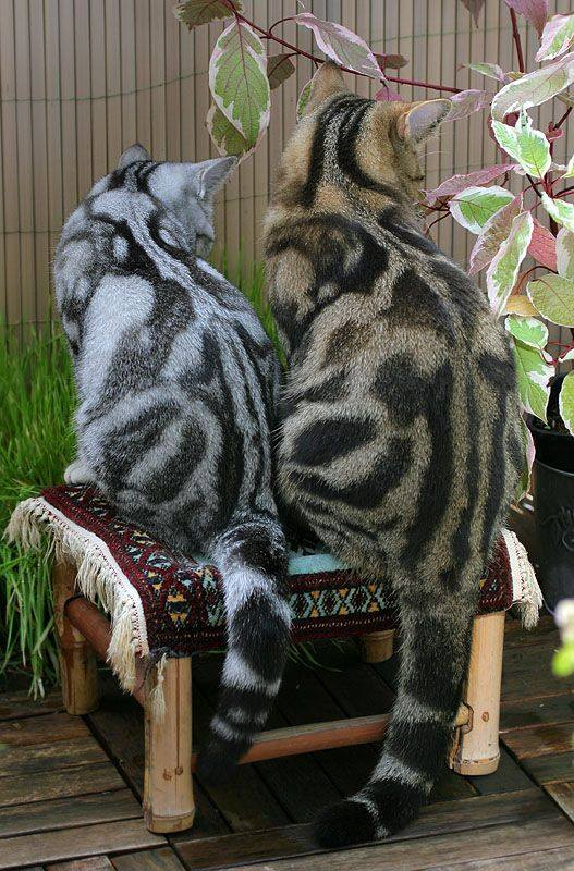 Wow!   From 1 to 10 how beautiful are these two unique cats?