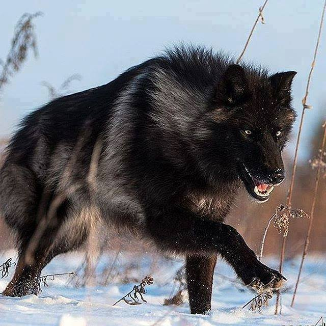 Wow – what a stunning black Timber Wolf! Wow – what a stunning black Timber Wolf!